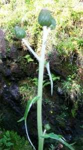 Cirsium x wankelii (?) on Skye