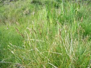 Carex paniculata on Eigg