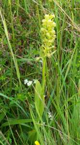 Frog Orchid on Skye