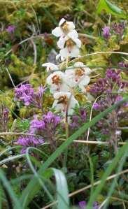 Pyrola rotundifolia on Raasay
