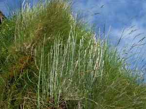Equisetum hyemale on Skye