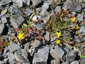 Hypericum humifusum on Skye
