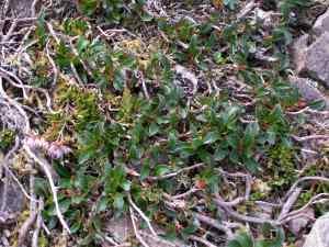Arctostaphylos alpinus on Ben Bhuide, Skye