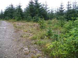 Sitka Spruce invading the site