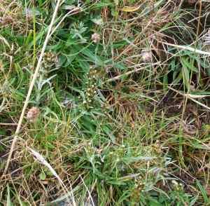 Gnaphalium sylvaticum on old spoil heap