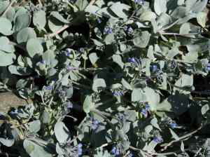 Mertensia on Sanday
