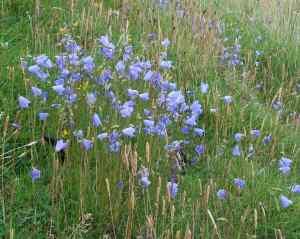 Campanula rotundifolia on Muck
