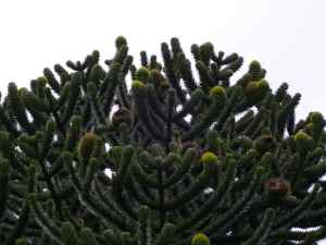 Monkey-puzzle with cones