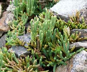 Diphasiatrum alpinum