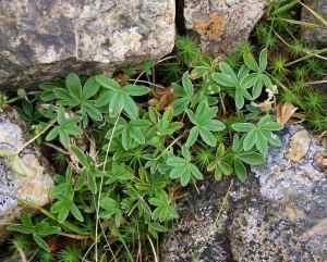 Alchemilla alpina