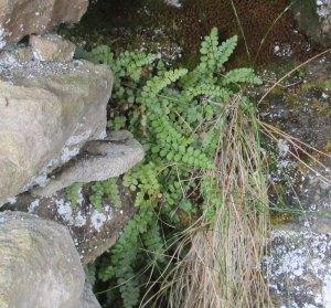 Asplenium viride Green Spleenwort
