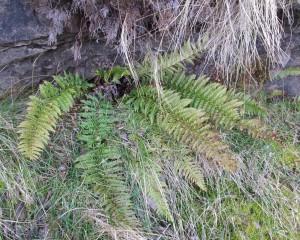 Polystichum aculeatum Hard Shield-fern