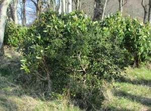 Ruscus under threat
