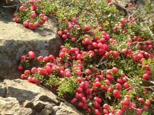 Gaultheria mucronata 031203 (5)