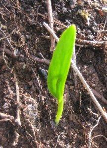 Ophioglossum vulgatum Photo M. Henriksen