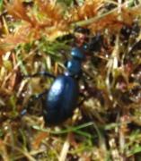 Violet Oil-beetle