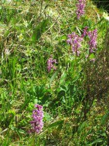 Orchis en masse(cula)
