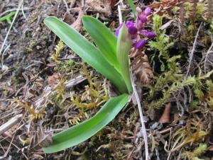 Orchisi mascula