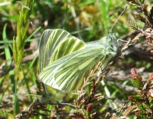 Green-veined Whites