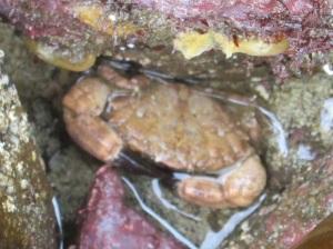 Risso's Crab