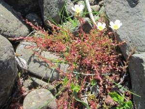Saxifraga hypnoides