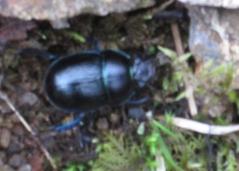 Skye Beetle 2