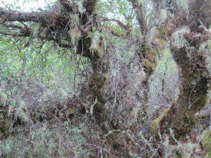 Festooned birch