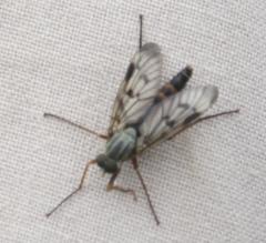 Rhagio scolopaceus -Downlooker Snipefly