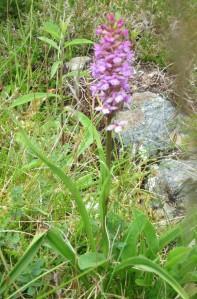 Gymnadenia borealis