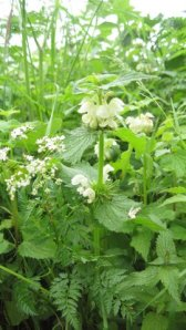 Lamium album  Photo: L Henderson