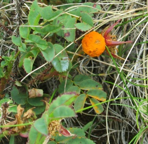 Phragmidium rosae-pimpinellifoliae