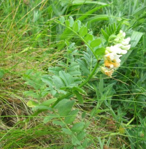White Vicia sepium