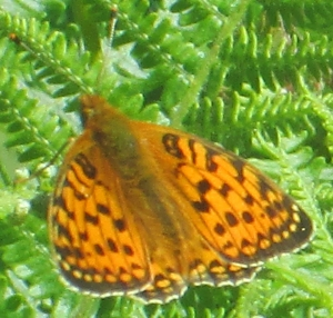 Dark-green Fritillary