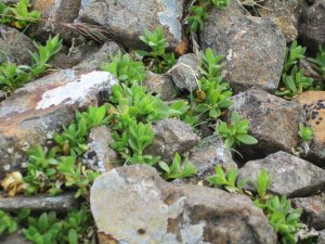 Cerastium nigescens -sadly no flowers.