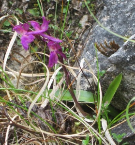 Not-so-early-purple orchid