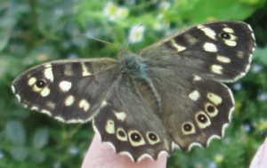 Speckled Wood and Daughter's Finger
