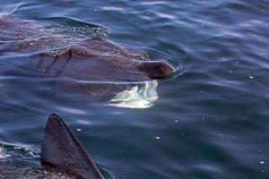 Basking Sharks  Photo R. Cottis