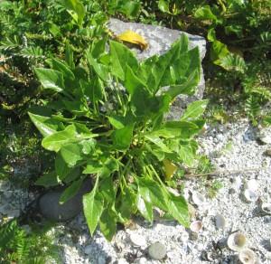 Beta vulgaris Non-flowering plant