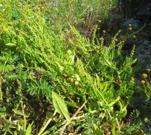 Beta vulgaris Flowering/fruiting