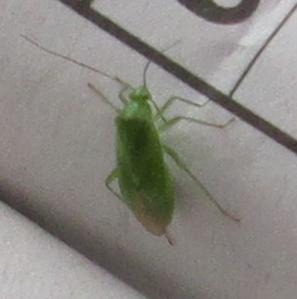Lygocoris pabulinus maybe