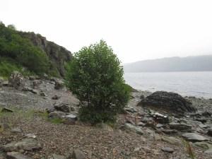 Beach Alder (2)