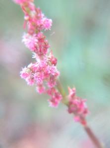 Rumex acetosa subsp. hibernicus (2)