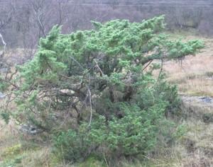 Juniperus communis ssp, communis