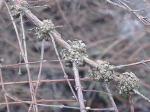 Snowberry Stem Gall