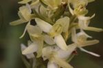 P. bifolia  Photo T Swainbank