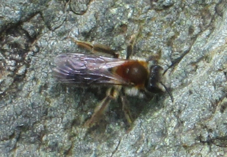 Andrena sp. - Mining Bee