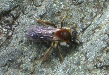 Andrena sp. - Mining Bee