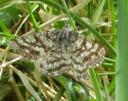 Common Heath