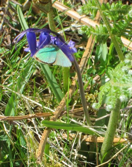 Green Hairstreak on Hyacinthoides non-scripta