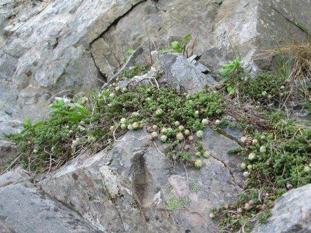 Aceria thomasi  galls